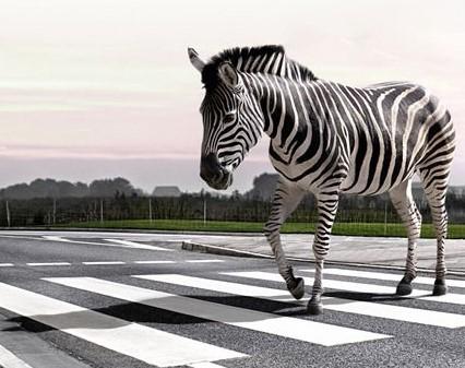zebra-crossinguSE .jpg